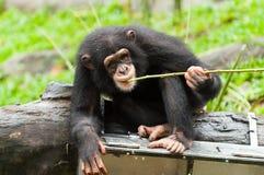 共同的黑猩猩 免版税库存照片