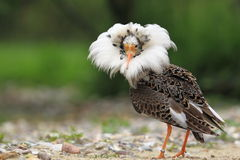 在繁殖的全身羽毛的出王牌 图库摄影