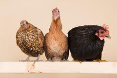 在棍子的鸡 免版税库存图片