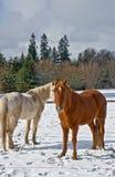 两马在冬天 图库摄影