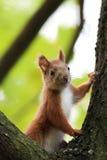红松鼠在森林里 免版税图库摄影