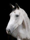 Серая съемка головы лошади Стоковые Изображения