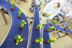 Λουλούδια στη ζώνη μεταφορέων, γραμμή παραγωγής, σύγχρονη επιχείρηση Στοκ Φωτογραφία