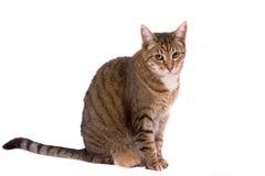猫俏丽的一点 免版税图库摄影