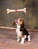 想要骨头的小狗 库存照片