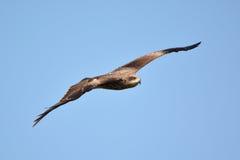 鹰飞行 库存图片