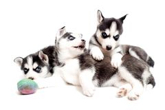 嬉戏的小狗 免版税图库摄影