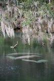 西印度海牛,蓝色春天,佛罗里达,美国 免版税图库摄影