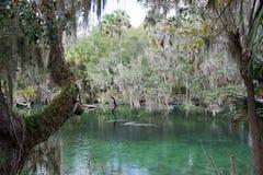 西印度海牛,蓝色春天,佛罗里达,美国 图库摄影