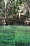西印度海牛,蓝色春天,佛罗里达,美国 库存照片