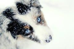 在雪的澳大利亚牧羊人小狗 免版税库存照片