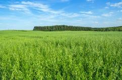 Зеленое поле овса Стоковые Фотографии RF