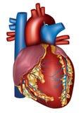 人的心脏详细的解剖学,五颜六色的设计 免版税库存图片