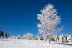 用新鲜的雪盖的被隔绝的桦树 免版税库存图片