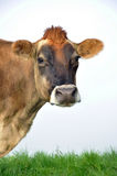Αγελάδα του Τζέρσεϋ Στοκ Εικόνες