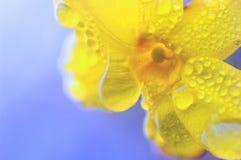 在雨以后的迎春花 库存照片