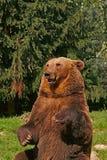 熊 免版税图库摄影
