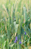 在麦子的紫色花 库存照片