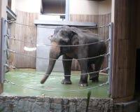 印度象-俄斯拉发的动物园在捷克 库存图片