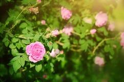 罗斯花在庭院里 免版税库存照片