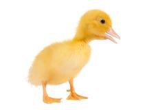 黄色复活节鸭子 免版税库存照片