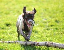 西班牙猎狗狗跳跃的树 免版税库存图片