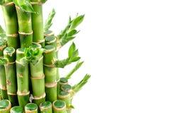 一棵幸运的竹植物 免版税库存图片