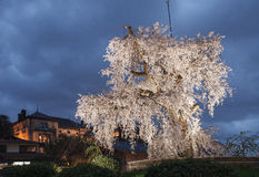 在微明的一棵老著名古老樱花树在京都 免版税图库摄影
