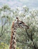 一头美丽的长颈鹿的特写镜头 库存图片