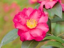 开花在春天的红色山茶花 库存照片