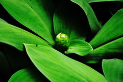 绿色叶子和芽姜特写镜头 库存照片
