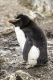 小蓬松企鹅 库存图片