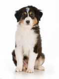 逗人喜爱的小狗 免版税库存照片