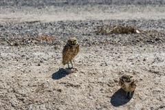 挖洞猫头鹰 图库摄影