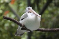 Американский белый пеликан Стоковое Изображение