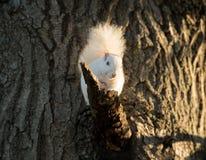 白色灰鼠 免版税库存照片
