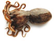 在白色背景的章鱼 免版税库存照片
