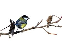 在枝杈的被隔绝的伟大的山雀 免版税图库摄影