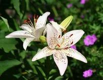 Красивые азиатские цветки лилии Стоковое Изображение