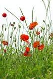 Λουλούδι παπαρουνών Στοκ εικόνα με δικαίωμα ελεύθερης χρήσης