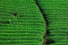 美丽的新鲜的绿茶种植园 免版税库存图片