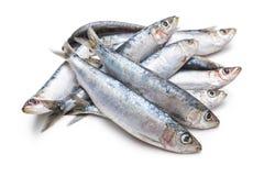 新鲜的未加工的沙丁鱼 库存照片