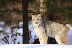 在雪的美洲野猫 库存图片