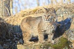 年轻美洲野猫在清早 免版税库存图片