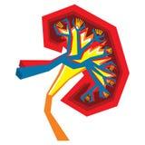 Иллюстрация почки Стоковые Фотографии RF