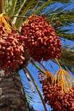 Дерево финиковой пальмы с датами Стоковое Изображение