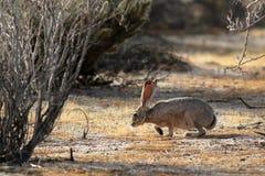 黑被盯梢的长耳大野兔嗅 免版税库存图片