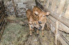 两小和逗人喜爱的小牛 库存图片