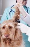 与耳镜的狩医审查的狗 库存图片
