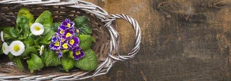 与春天花、报春花和雏菊的白色篮子 库存图片